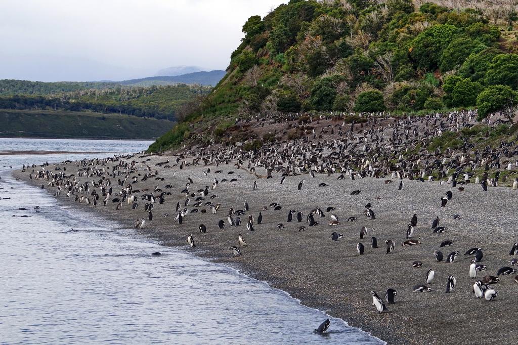 Магелланові пінгвіни на острові Мартільо, Вогняна Земля