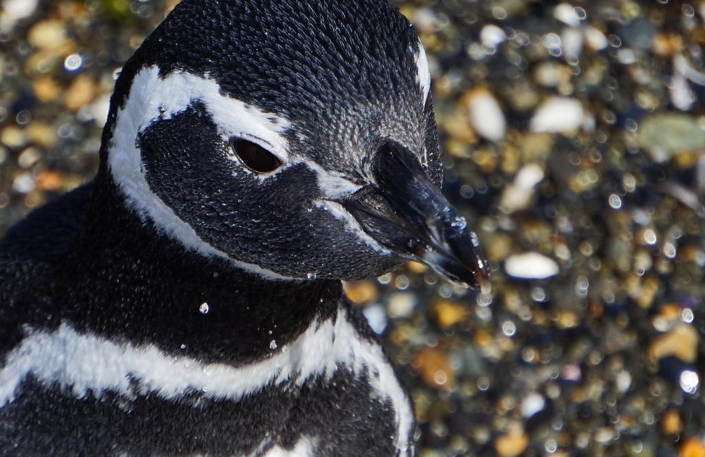 Магеллановий пінгвін на острові Мартільо, Вогняна Земля