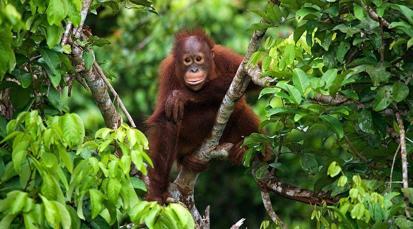 Орангутанг в джунглях Борнео