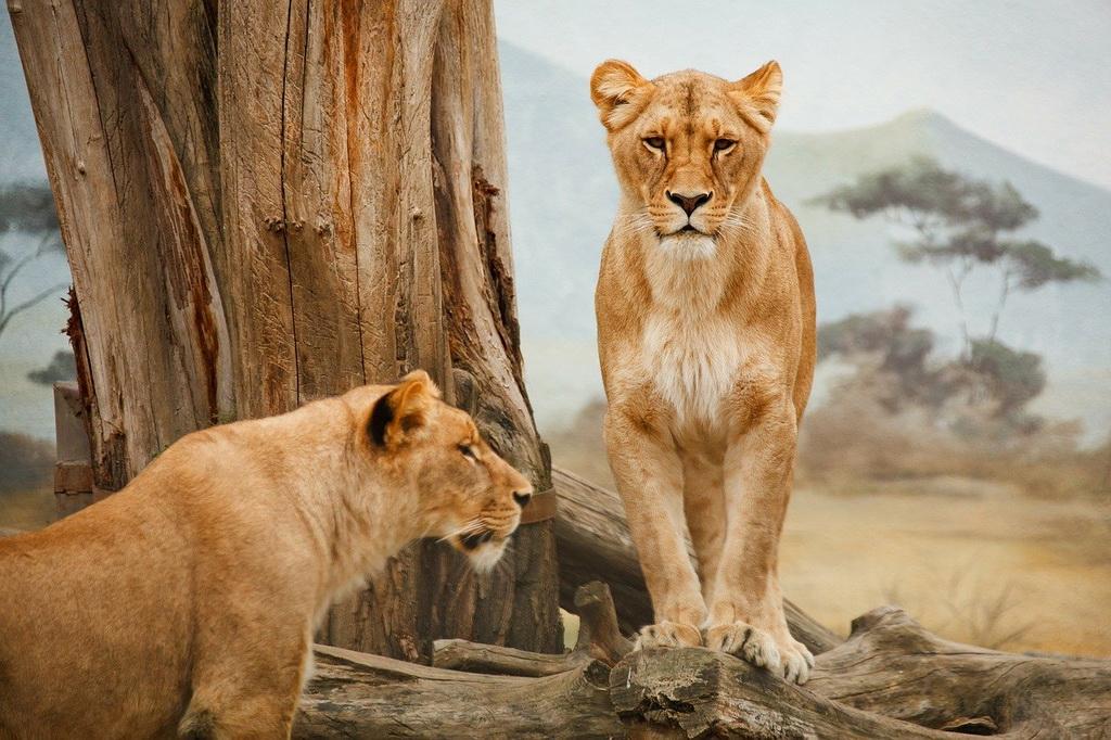 Леви у Південній Африці