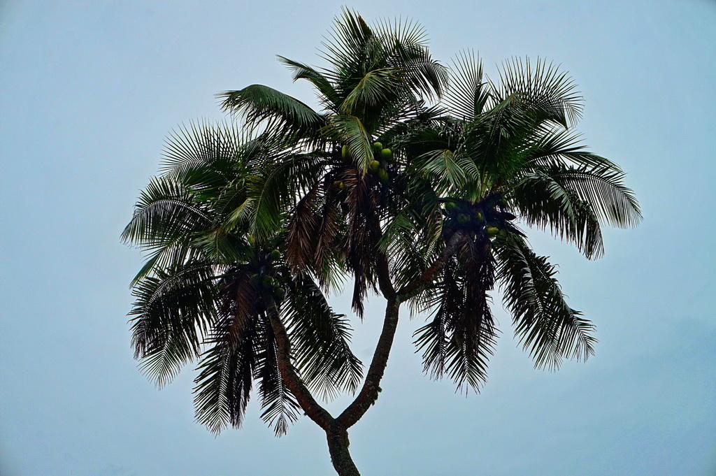 Пальма з трьома стовбурами